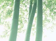 秀玉之神韵的幽静竹林景物图片