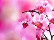 红色蝴蝶兰花图片素材梦幻清新