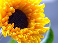 盛开的黄色菊花特写图片