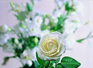 纯洁高贵的白玫瑰摄影图片