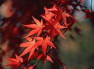 红色的枫叶唯美图片