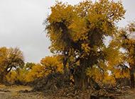 秋天的戈壁灘白楊樹圖片