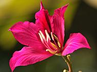 高清紫荆花图片壁纸精选