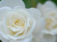 纯粹崇高的白玫瑰图片观赏