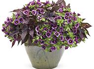 深紫色的牵牛花盆栽图片