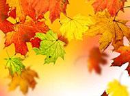 秋天唯美枫叶图片精美素材