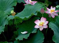 池塘中怒放争艳的莲花图片