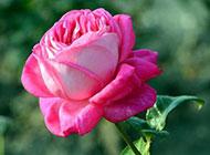 粉色月季花背景图片摄影