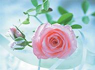 情人节盛开的粉玫瑰唯美图片