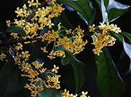 花香四溢的桂花图片