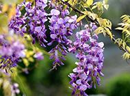 超高清紫藤花图片如梦如幻