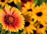 漂亮的向日葵太阳花图片