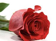 一枝独秀浪漫情人节红玫瑰唯美素材