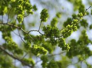 青皮榆樹圖片蔥綠繁茂