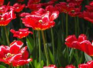 盛开的大红色花朵图片