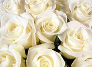 白玫瑰背景素材纯洁优雅