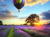 紫色的薰衣草摄影图片