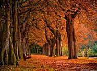 秋日遍地似火的楓樹林圖片
