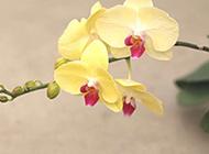 美丽的黄色蝴蝶兰高清壁纸
