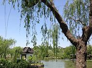 河边柳树图片姿态摇曳