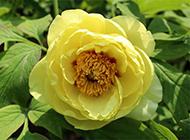 黄色牡丹花图片素材