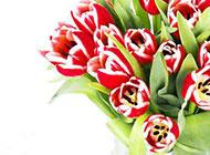 红色郁金香图片背景素材