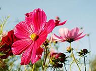 绚丽开放的波斯菊花卉图片