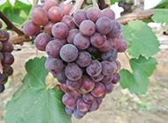树上挂着的紫色葡萄图片
