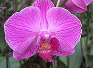 唯美的紫色蝴蝶兰高清图片赏析