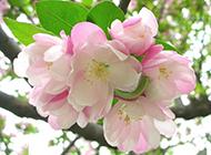 北美海棠花图片优雅清新