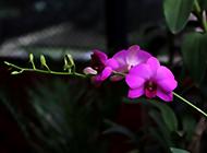 庭院里的蝴蝶兰植物图片大全