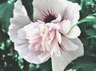 木槿花不规则形外观图片
