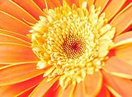 花大色美的非洲菊图片