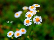 小雏菊唯美护眼高清图片