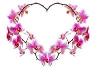 紫蝴蝶花图片清新鲜花素材分享