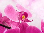 粉色唯美蝴蝶兰摄影图片