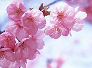 粉里透红的桃花图片