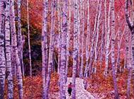 白楊樹林自然風景圖片