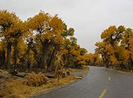 秋天路邊的白楊樹圖片