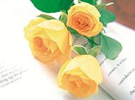英文书上盛开的黄玫瑰
