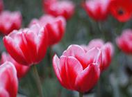 美丽的红色郁金香图片