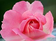 粉色玫瑰花背景图片素材