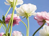 春天粉嫩的格桑花背景图片