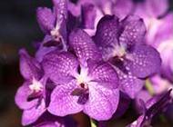 紫色兰花图片精美背景素材