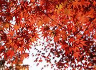 红得似火的枫叶高清图片
