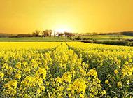 一片油菜花美景图片欣赏