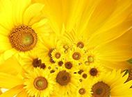 向阳而开的阳光般灿烂颜色向日葵高清壁纸图片