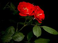 血红蔷薇花图片妖娆明媚
