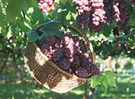 篮子里的葡萄水果图片