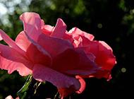 花朵硕大的月季花图片